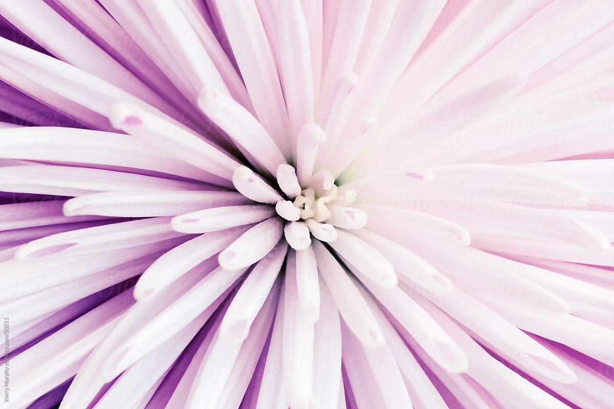 Macro Of Center Of Spiky Flower Stocksy United