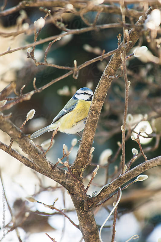 Great tit perching on bare Magnolia branch by Laura Stolfi for Stocksy United