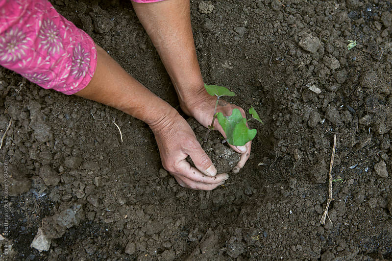 Hands planting a young plant. by Shikhar Bhattarai for Stocksy United