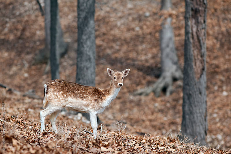 Fallow Deer in the Woods by Brandon Alms for Stocksy United