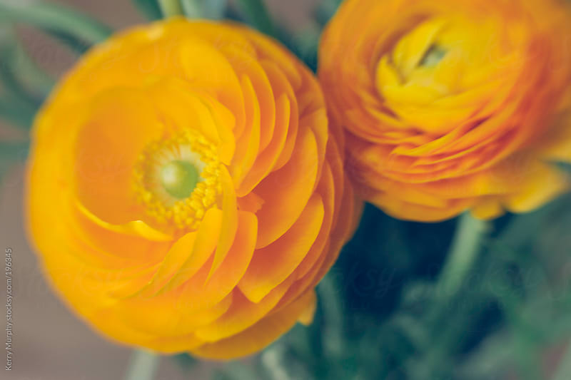 Soft focus close up of two yellow ranunculus flowers by Kerry Murphy for Stocksy United