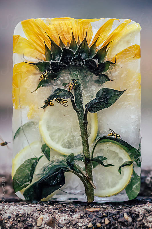 frozen lemonade with sunflower and fresh lemon slices in a block of ice,so delicious that even wasps by Igor Madjinca for Stocksy United
