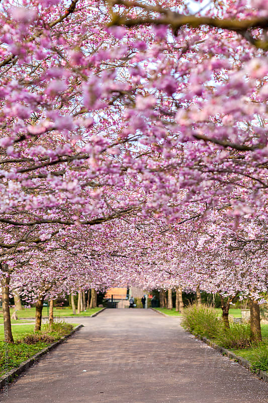 Street full of cherry blossom tree by Zocky for Stocksy United