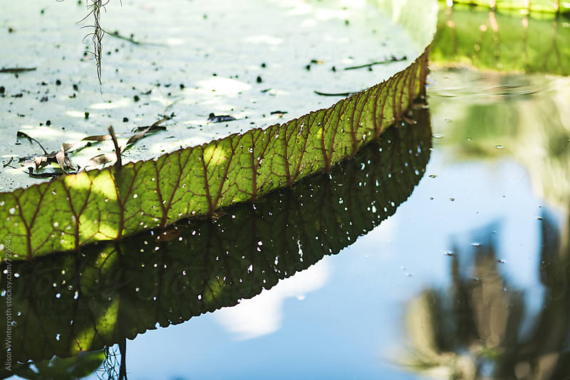 The Side of A Giant Lily Pad On The Water by Alison Winterroth for Stocksy United