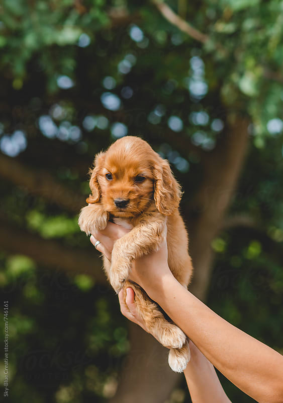 Woman hands holding a Cocker Spaniel puppy by Luca Pierro for Stocksy United