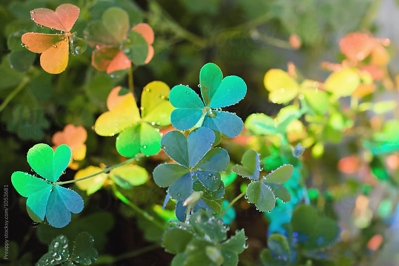 Rainbow clovers by Preappy for Stocksy United