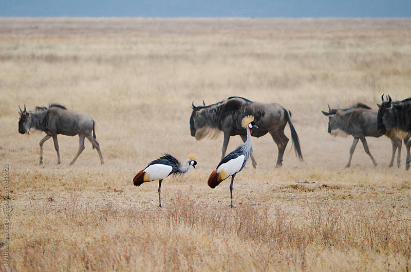 Wildebeests and birds on Africa's Serengeti National Park by Matthew Spaulding for Stocksy United