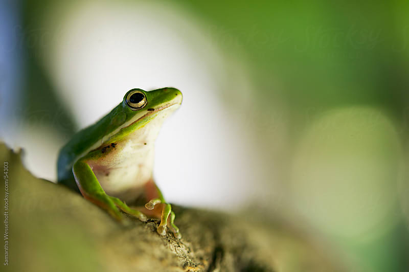 green tree frog on branch by Samantha Wesselhoft for Stocksy United