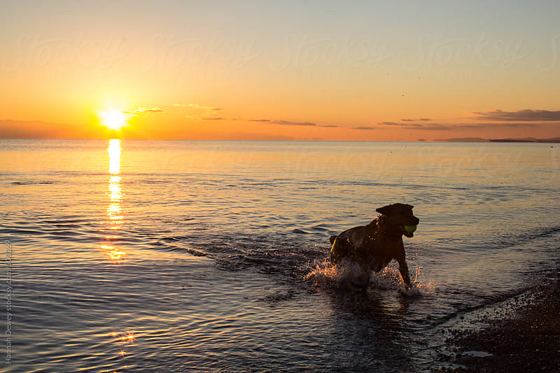 A dog playing fetch during sunset in the ocean by Hannah Dewey for Stocksy United