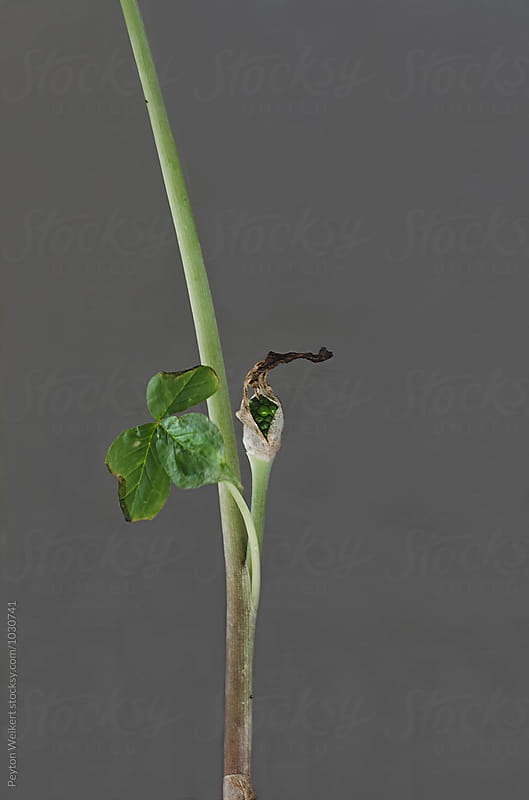 Stem of green plant with a single bud and leaf by Peyton Weikert for Stocksy United