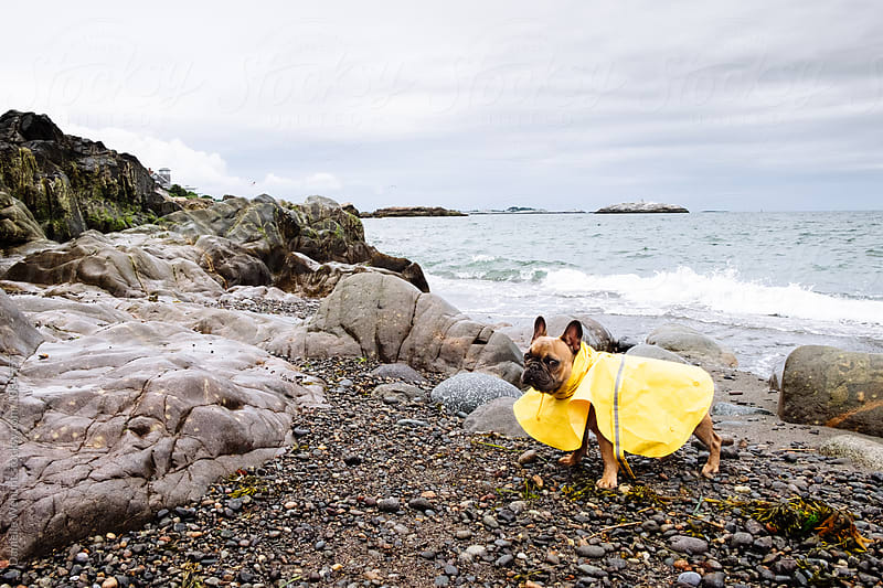 A brown french bulldog puppy at the ocean shore with a raincoat on by J Danielle Wehunt for Stocksy United