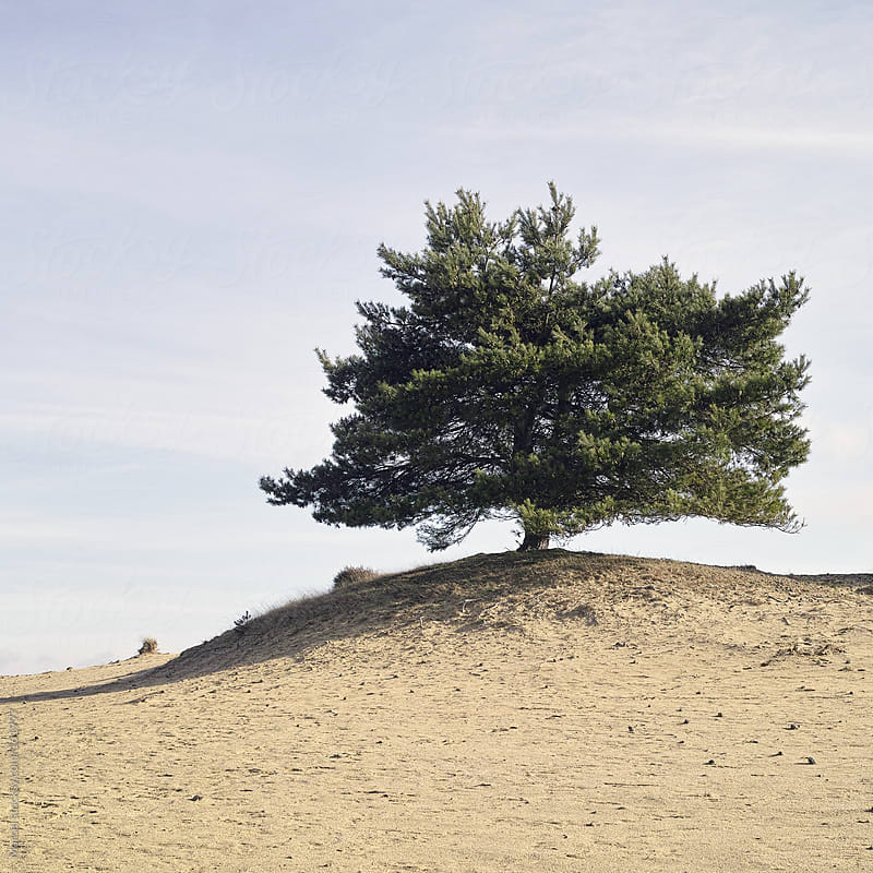 Lonely pine tree in eroded sandy landscape by Marcel for Stocksy United