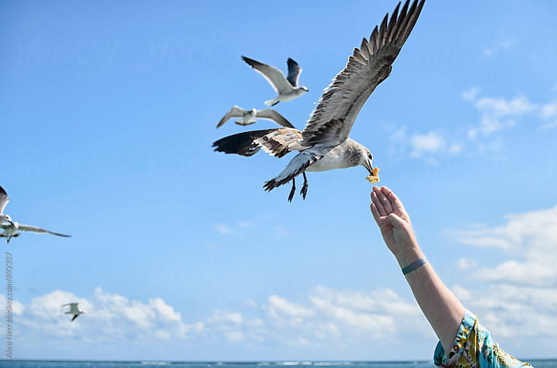 Seagull taking food from tourist hand while flying above the sea by Alice Nerr for Stocksy United