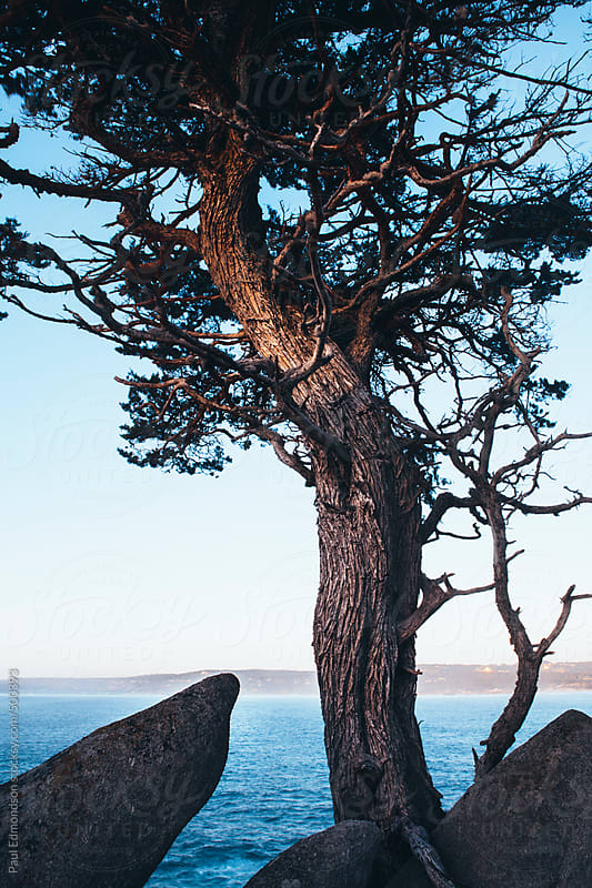 Monterey Cypress trees at dusk, Point Lobos State Reserve, Big Sur, CA by Paul Edmondson for Stocksy United