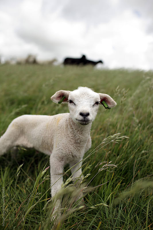 Young lamb standing in tall grass by Marcel for Stocksy United