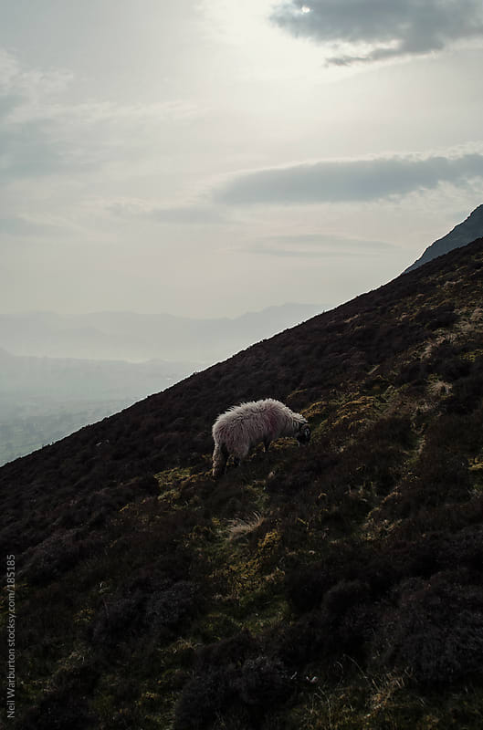 Mountain Sheep by Neil Warburton for Stocksy United