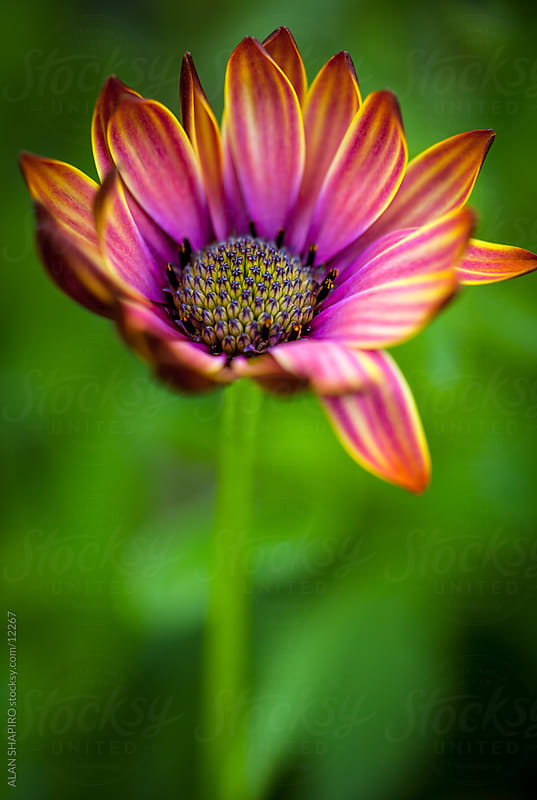 A pink, purple and orange flower by alan shapiro for Stocksy United