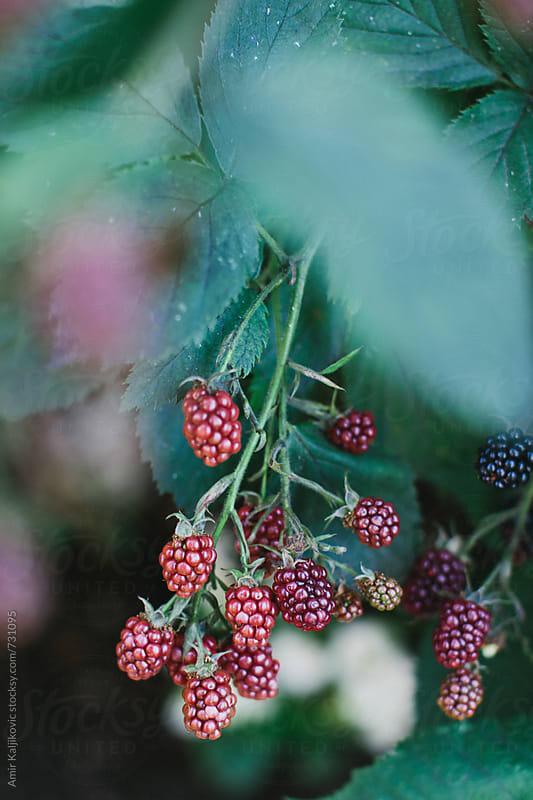 Bunch of unripe blackberries on a bush by Amir Kaljikovic for Stocksy United
