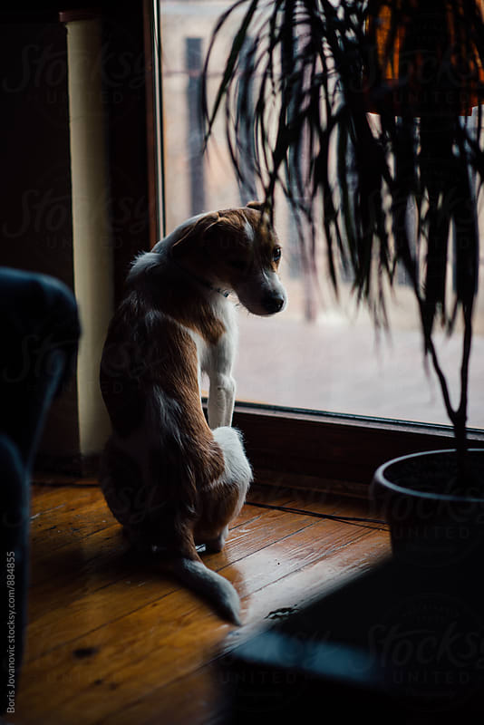 Dog standing by the window  by Boris Jovanovic for Stocksy United