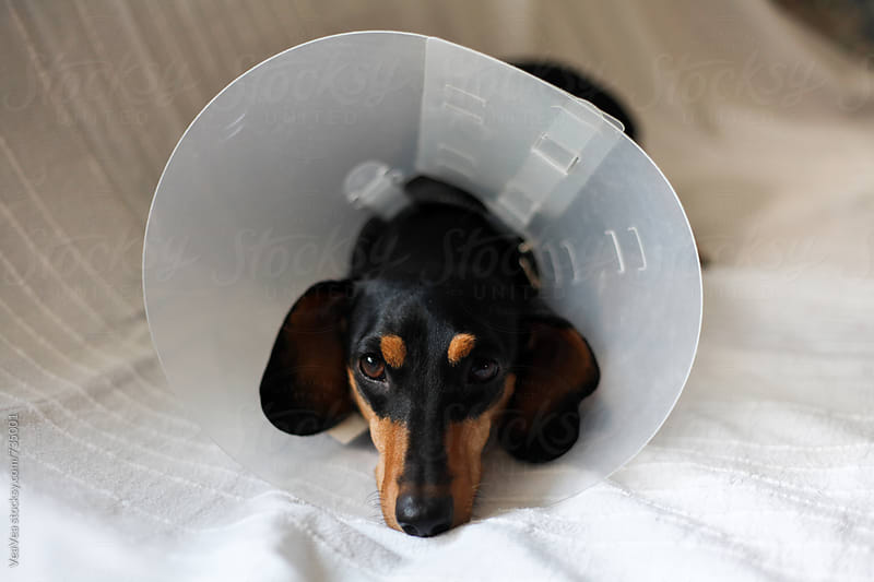Cute black dachshund with a dog cone lying on the couch  by VeaVea for Stocksy United