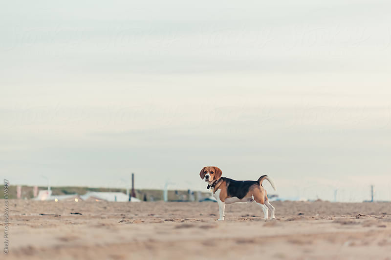 Beagle dog standing on the beach by Cindy Prins for Stocksy United
