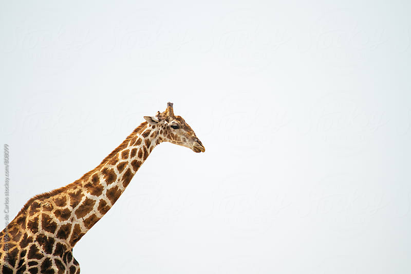 A giraffe head and long neck portrait on a clear bright day by Alejandro Moreno de Carlos for Stocksy United