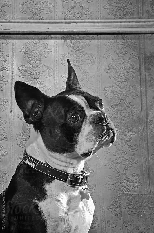 portrait of boston terrier by Tod Kapke for Stocksy United