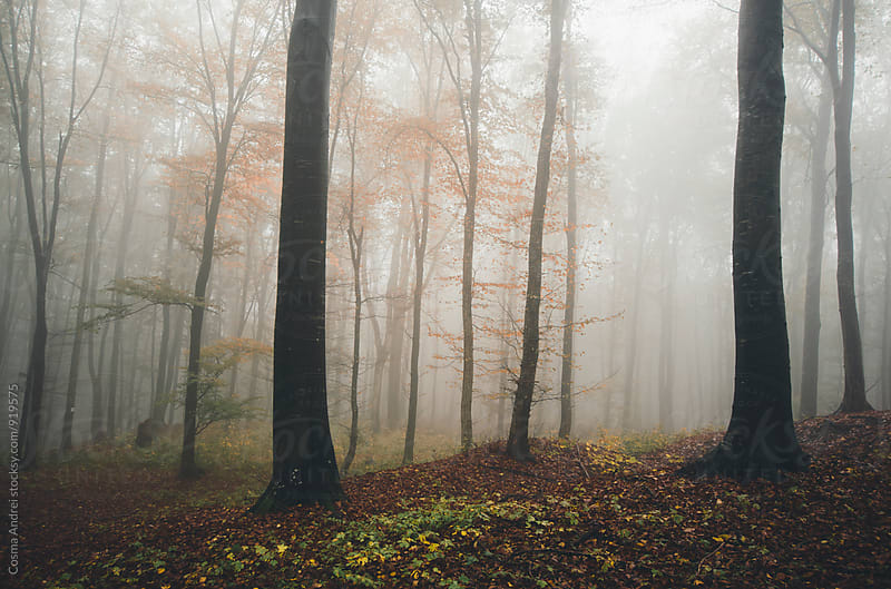 Mysterious forest with fog in autumn by Cosma Andrei for Stocksy United