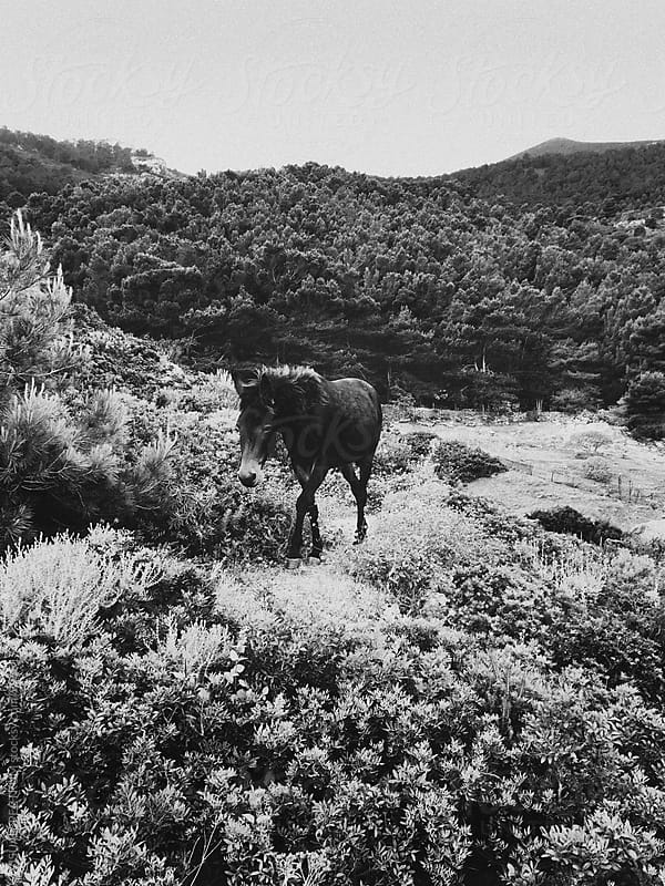 Walking Wild Horse in Black and White by Julien L. Balmer for Stocksy United