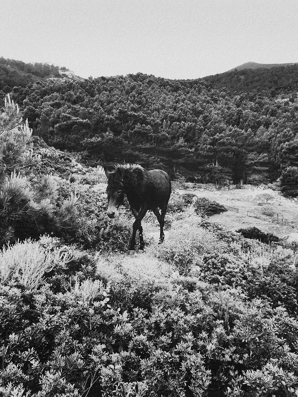 Walking wild horse in black and white
