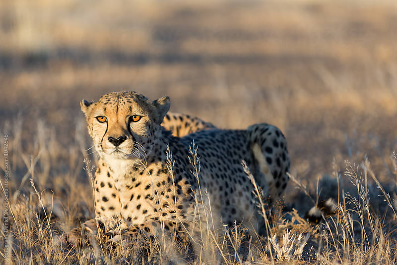 Cheetah (Acinonyx jubatus) by Fotografie Daniel Osterkamp for Stocksy United