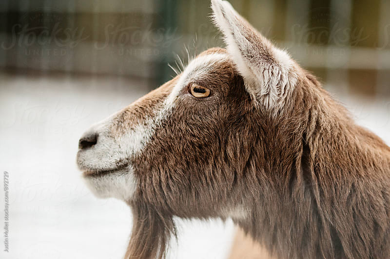 Toggenburg Goat  by Justin Mullet for Stocksy United