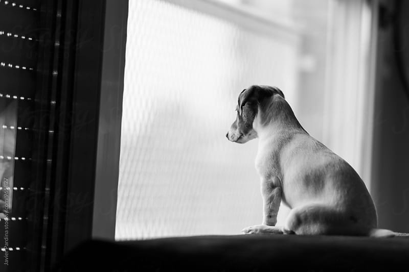 Jack russell looking to the window by Javier Pardina for Stocksy United