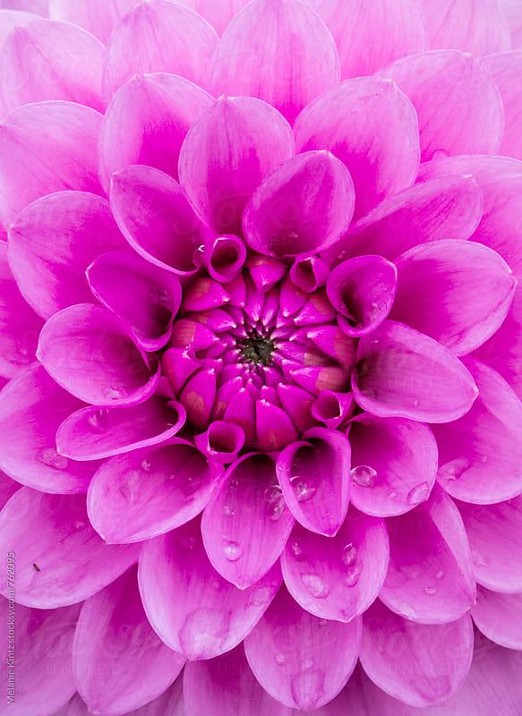 Bright pink Dahlia with raindrops by Melanie Kintz for Stocksy United