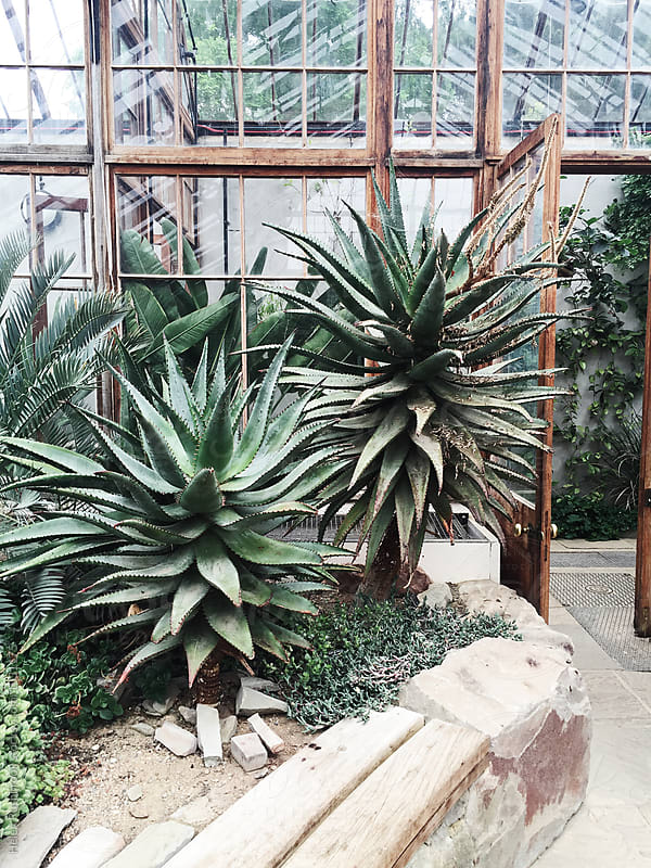 Agaves growing in a glasshouse by Helen Rushbrook for Stocksy United