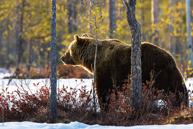A wild brown bear at dusk in a Finnish forest in early spring by Jonatan Hedberg for Stocksy United