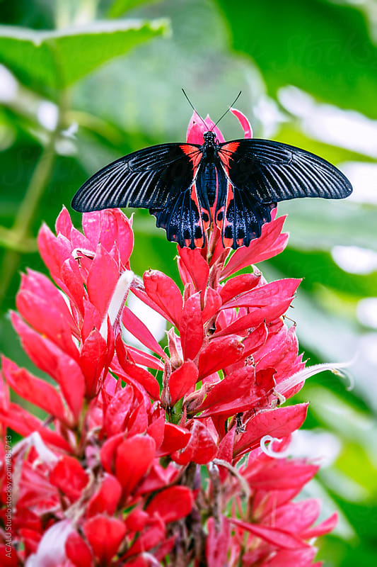Black butterfly on pink flower by ACALU Studio for Stocksy United