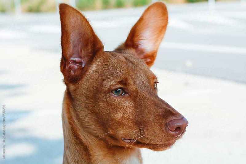 Portrait of hunting dog by Susana Ramírez for Stocksy United