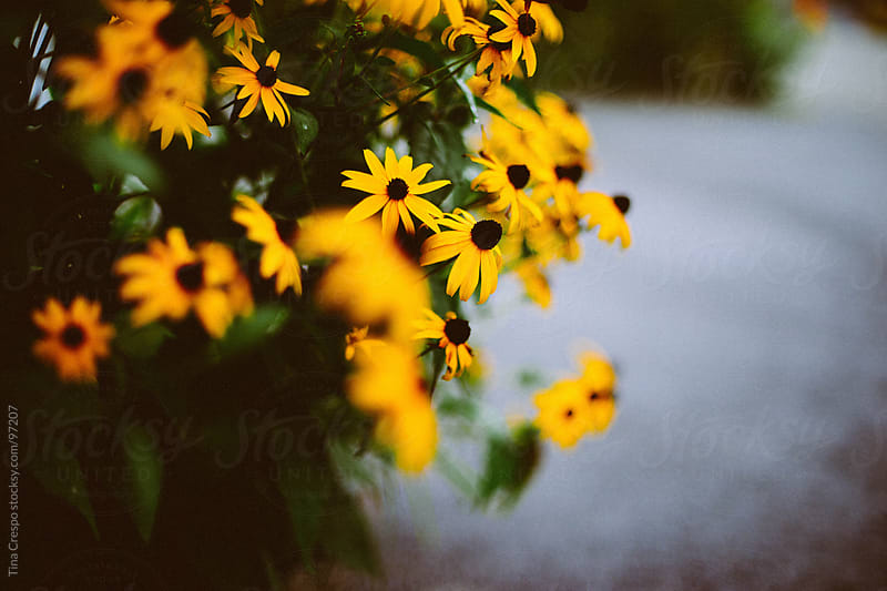Black Eyed Susans by Tina Crespo for Stocksy United