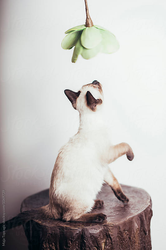 Beautiful siamese kitten playing by Maja Topcagic for Stocksy United