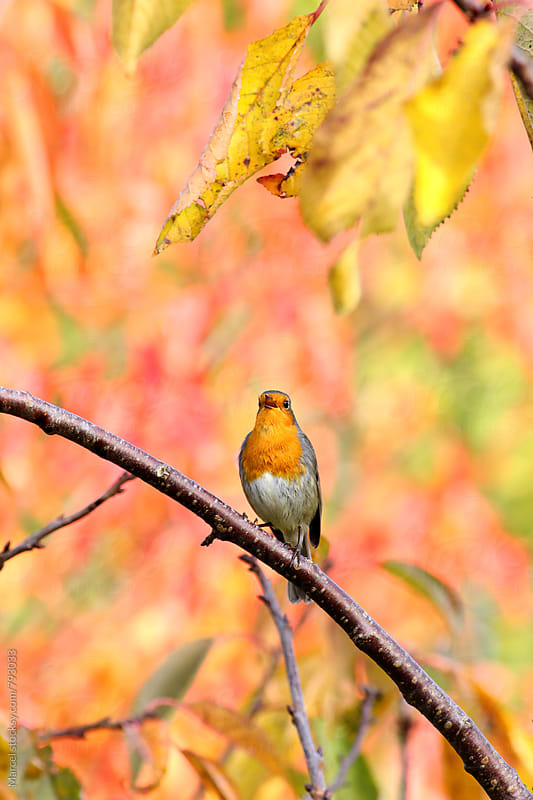 European red robin singing in a tree in fall colors by Marcel for Stocksy United