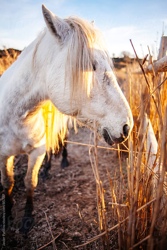 Alone white horse in the park at sunset by Javier Pardina for Stocksy United
