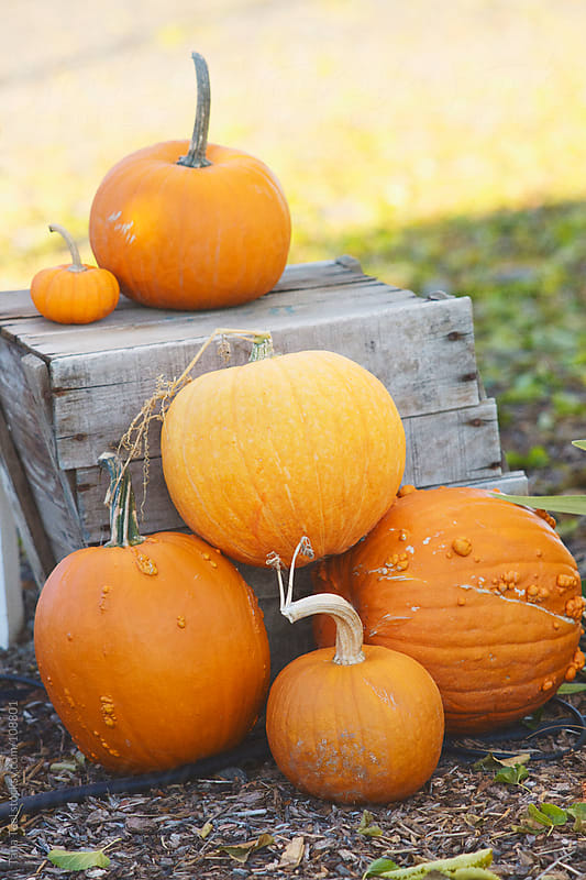 Pumpkins  placed in a decorative pile around an old apple box by Tana Teel for Stocksy United