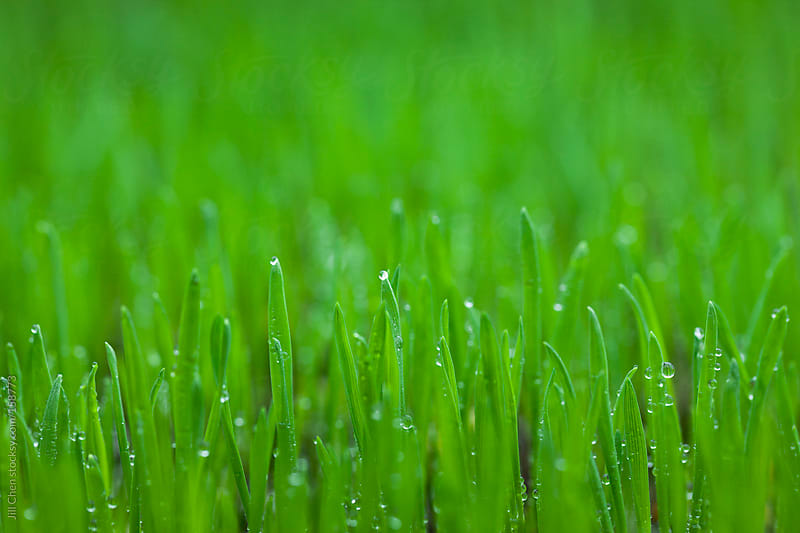 Fresh Green Grass Background by Jill Chen for Stocksy United