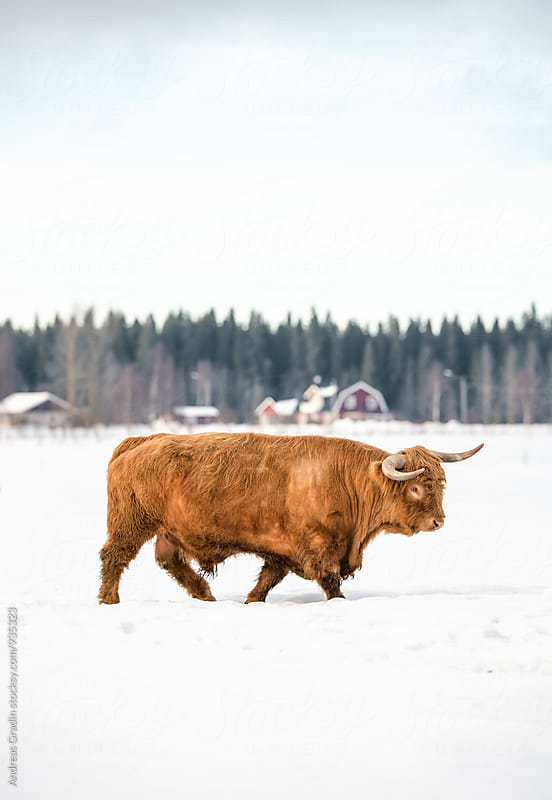 highland cattle in winter by Andreas Gradin for Stocksy United