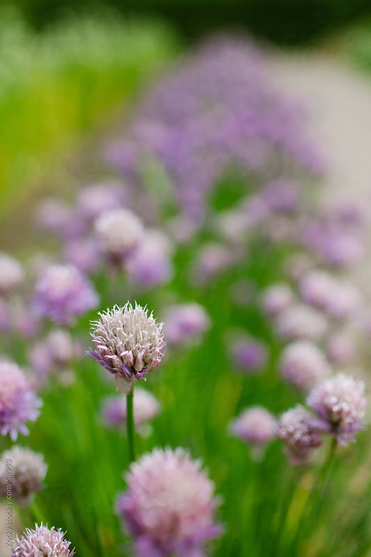 Allium flowers by Zocky for Stocksy United
