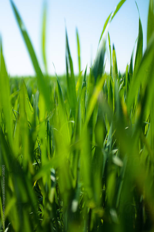 Green Grass by Good Vibrations Images for Stocksy United