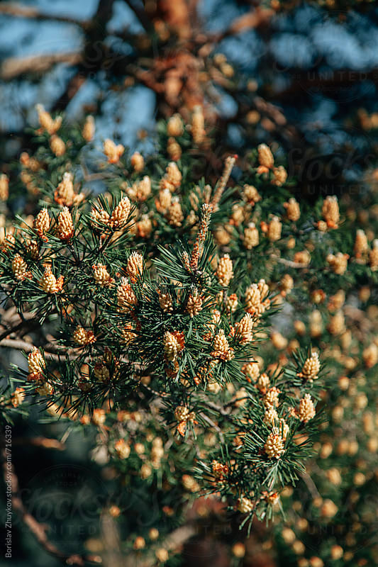 Mountain pine in bloom with cones by Borislav Zhuykov for Stocksy United