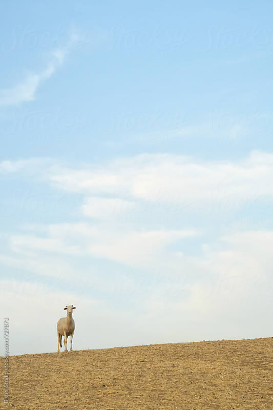 Spanish sheep in a wheat field by Bisual Studio for Stocksy United