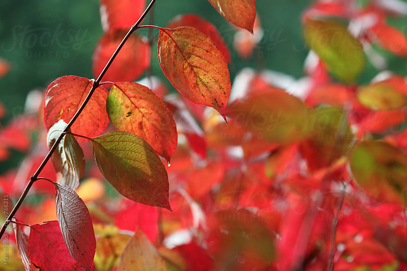 Common dogwood bushes in autumn by Marcel for Stocksy United